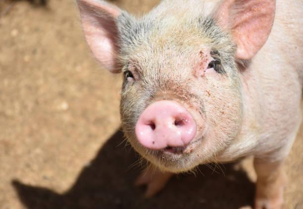 cute little pink piglet - scrofa foto e immagini stock