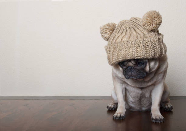 cute little pitiful sad pug puppy dog, sitting down on wooden floor, with copy space - deplorable stock pictures, royalty-free photos & images