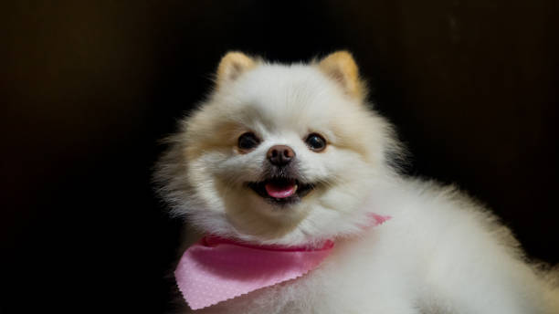 Cute little pomeranian dog picture id1270982998?b=1&k=6&m=1270982998&s=612x612&w=0&h=ntxbumzoxjrz9d6tys3dzw6djr0objlqvbd tpzputm=