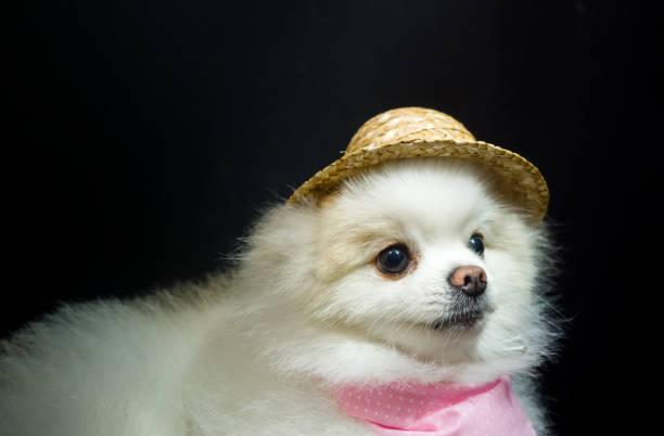 Cute little pomeranian dog picture id1270983018?b=1&k=6&m=1270983018&s=612x612&w=0&h=hqt mqe 1kkcdw1n7ihetbdrh33zi0qh lkf2bhdowu=