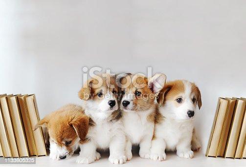 Cute little puppies of Pembroke Welsh Corgi on shelf with books on light background. Closeup photo