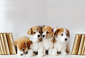 Cute little puppies of Pembroke Welsh Corgi on shelf with books on light background. Closeup photo