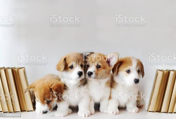 Cute little puppies on shelf with books on light background picture id1133605325?b=1&k=6&m=1133605325&s=612x612&h=rtkkmlixeciqihwrciydxhltwywqrt6pomo2uqtz do=