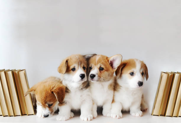 Cute little puppies on shelf with books on light background picture id1133605325?b=1&k=6&m=1133605325&s=612x612&w=0&h=jln7al0 enpzrarpibuekm 5vzychhlzt5ioj1mck3y=