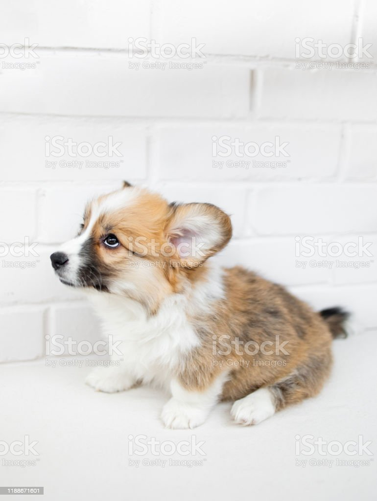 Cute Little Puppy Dog On A White Background Portrait Of Beautiful Welsh Corgi Pembroke Stock Photo Download Image Now Istock