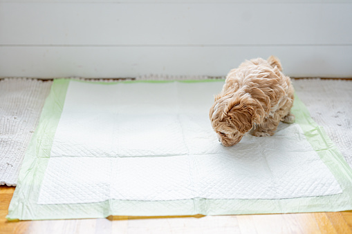 Cute little puppy on the hygienic pet pad.