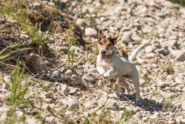 schattige kleine raszuivere jack russell terrier hond loopt snel over grind omhoog een dijk - dog looking at floor path stockfoto's en -beelden