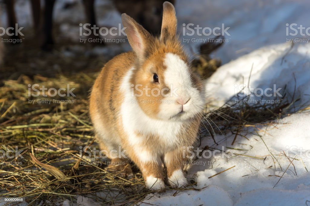 A cute little rabbit on straw in the snow stock photo