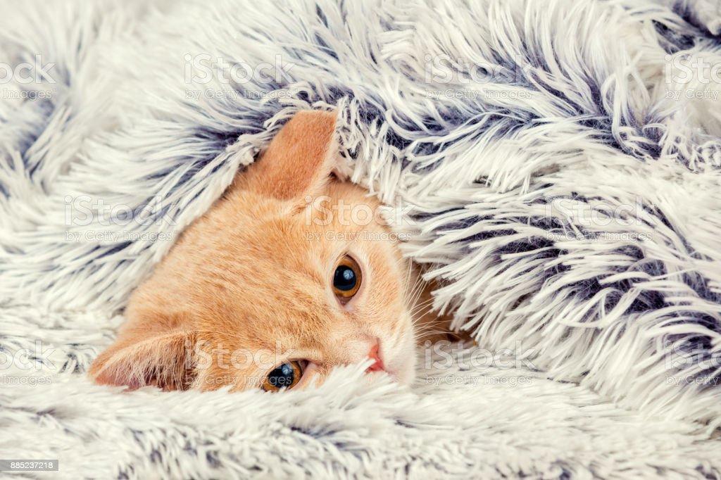 Niedliche wenig roten Kätzchen spähen aus unter die weiche warme blaue Decke – Foto