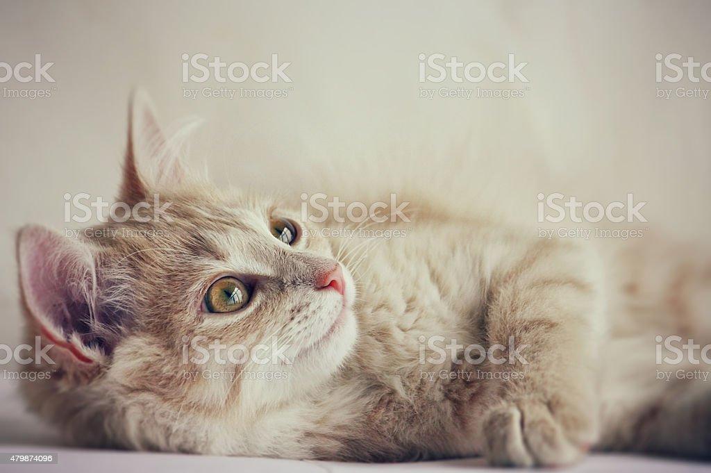 cute little red kitten stock photo
