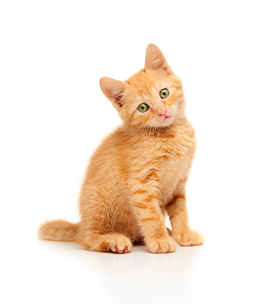 Cute little red kitten sitting and looking straight at camera stock photo