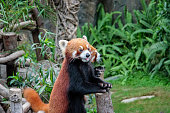 Cute little red pandas standing on hind legs with a funny muzzle, natural park.