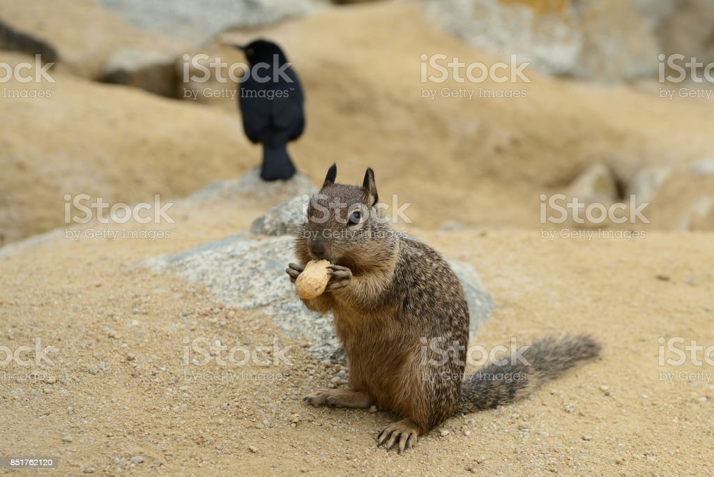 Cute little squirrel eating a nut on the coast stock photo