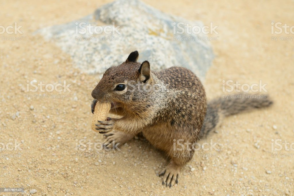 Cute little squirrel gnaws a nut on the sand stock photo