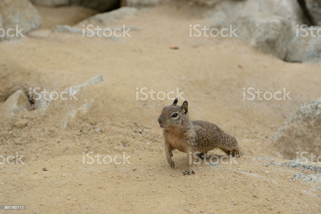 Cute little squirrel in the sand on the coast stock photo