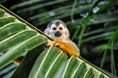 Squirrel Monkey hanging on palm leaf in Costa Rica, Central America.