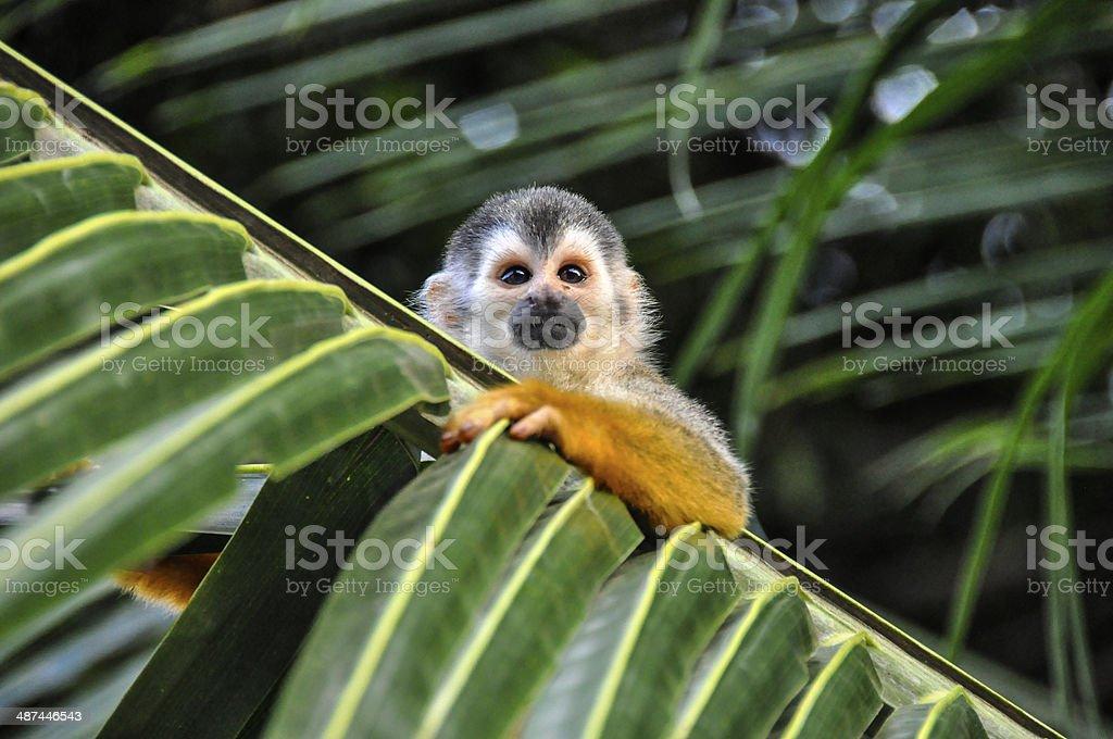 Cute Little Squirrel Monkey stock photo