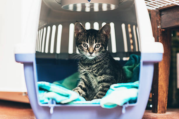 Cute little tabby kitten sitting in a travel crate stock photo