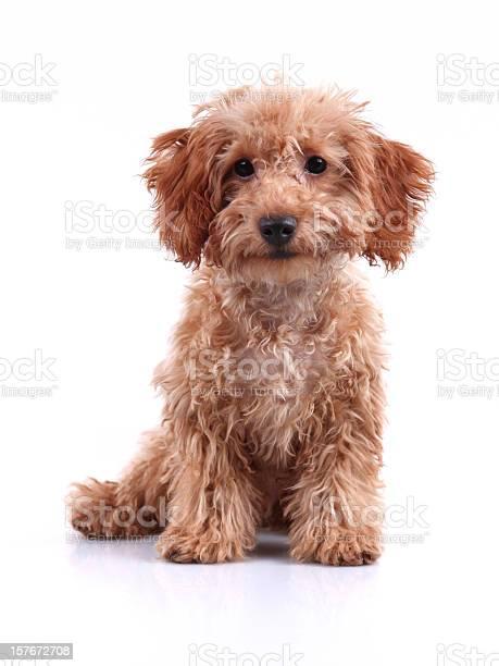 Cute little teddy bear puppy studio shot picture id157672708?b=1&k=6&m=157672708&s=612x612&h=1begvnq22r0e gbzexsg1t82dc94lujhnleyodlwr08=
