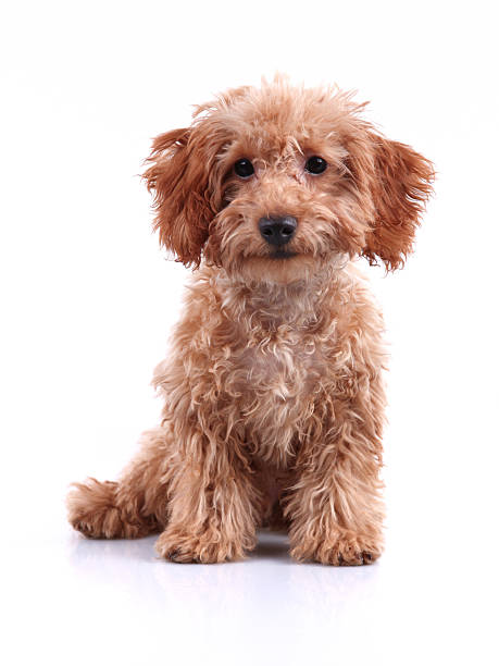 Cute Little Teddy Bear Puppy Studio Shot Front view of a cute little teddy bear dog studio shot with white background poodle stock pictures, royalty-free photos & images