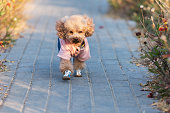 Cute little teddy dog running in the street park