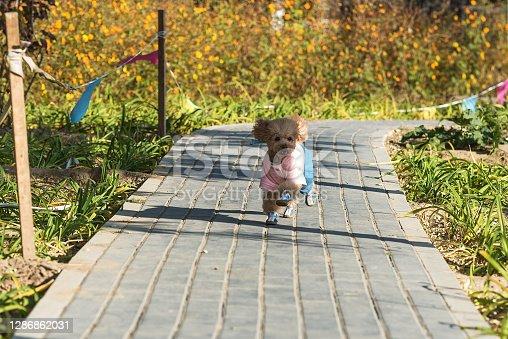 istock Cute little teddy dog running in the street park 1286862031