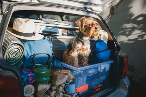 Full car trunk with a camping equipment and a Yorkshire Terrier dog wearing sunglasses ready for a vacation