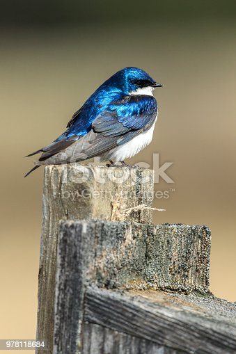 139975532 istock photo Cute little tree swallor perched. 978118684