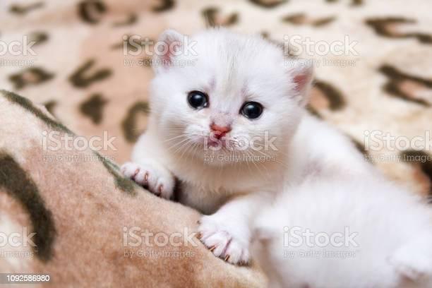 Cute little white british kitten crying picture id1092586980?b=1&k=6&m=1092586980&s=612x612&h=z5lamjo yittjgtb9imrmg662aqjlsjfmge5bm  i90=