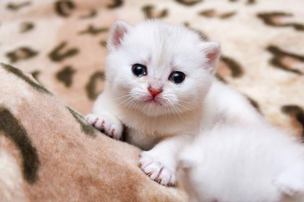Cute little white British kitten crying stock photo
