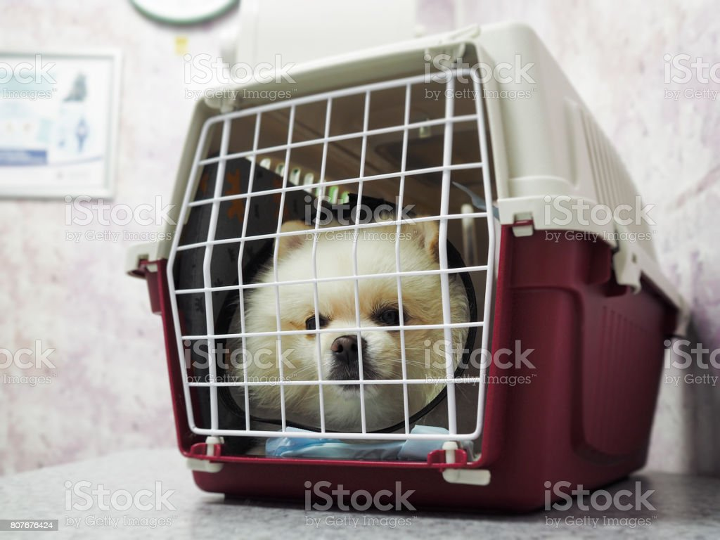 Cute little white dog sitting in a cage for transportation стоковое фото