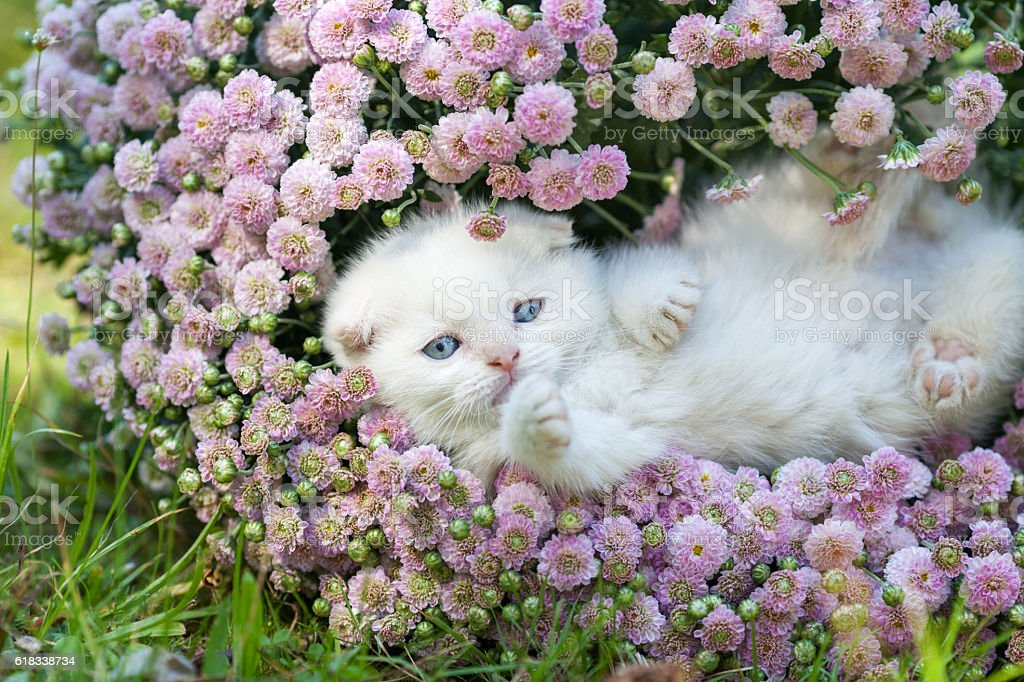 Cute little white kitten lying in flowers stock photo more cute little white kitten lying in flowers royalty free stock photo mightylinksfo