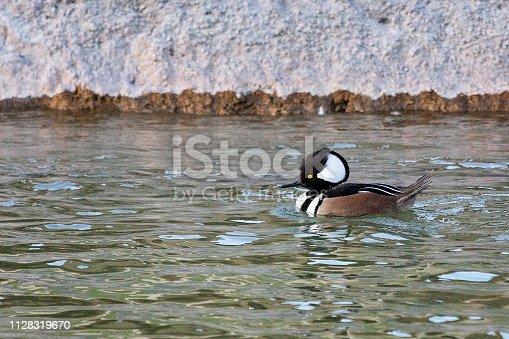 Cute little wood duck floating on water