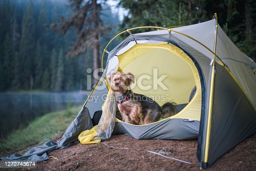 Cute little Yorkshire Terrier Dog Is Coming Out From A Tent