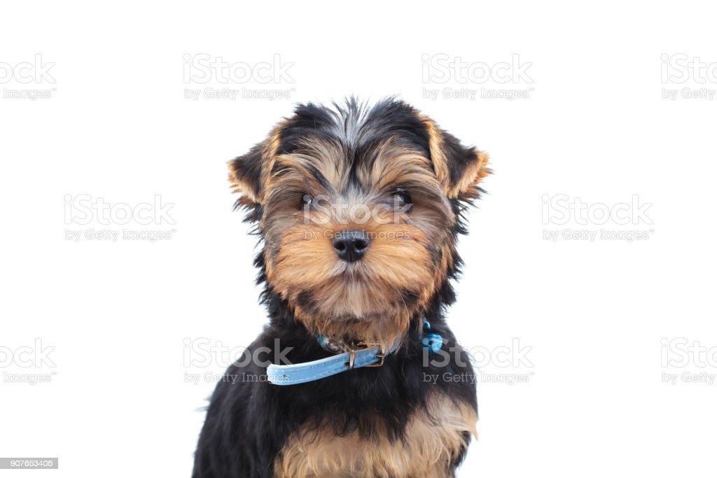 ブルーカラーでかわいいヨークシャー テリア子犬 カットアウト
