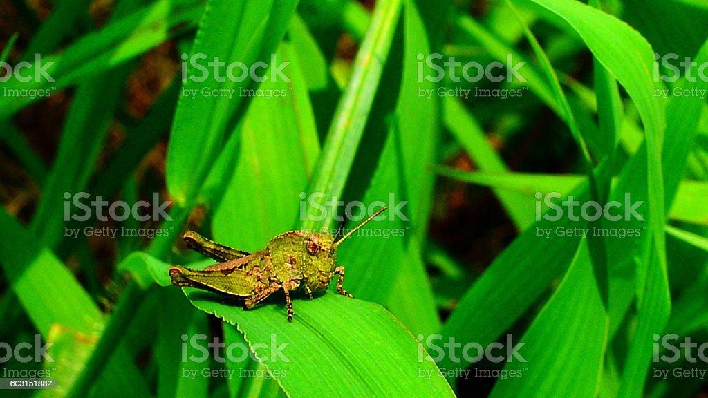 cute Locusta migratoria stock photo