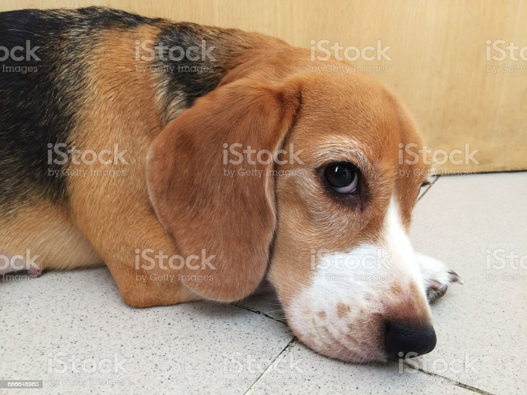 Cute lonely Brown Beagle puppy. royalty-free stock photo