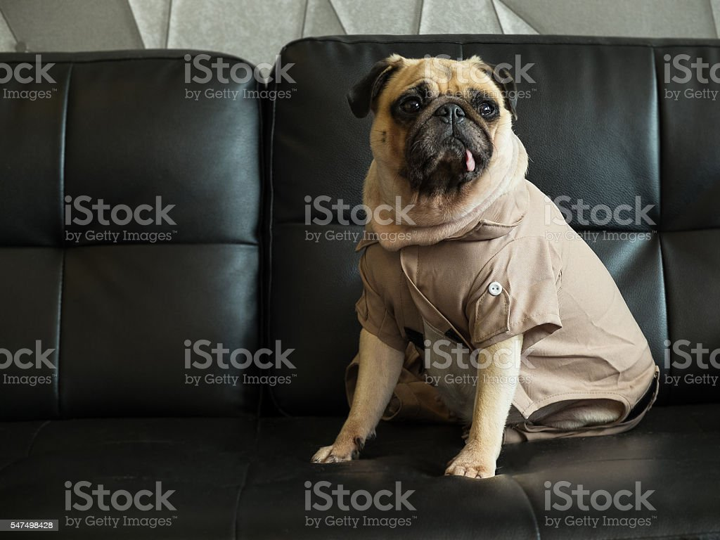 cute lonely pug dog puppy sad and sit on sofa stock photo