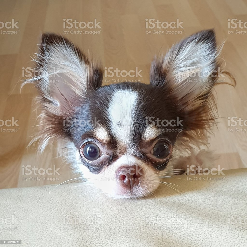 Cute Long Hair Chihuahua Puppy Facing The Camera Stock Photo Download Image Now Istock