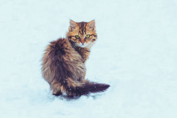 Cute longhair kitten walking in the snow picture id1065348580?b=1&k=6&m=1065348580&s=612x612&w=0&h=ed52oxskqs95mmve0sutluhoibleftbrb fzsw apwm=
