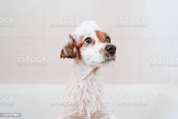 Cute lovely small dog wet in bathtub clean dog with funny foam soap picture id1207579841?b=1&k=6&m=1207579841&s=612x612&h=oax3qmxs7yahwg3xoyxyctlj0oqhyricsuwxdchgc3w=