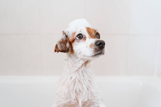 cute lovely small dog wet in bathtub, clean dog with funny foam soap on head. Pets indoors stock photo