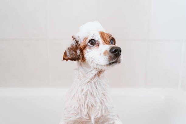 lindo perro pequeño encantador mojado en la bañera, perro limpio con jabón de espuma divertido en la cabeza. Mascotas en el interior - foto de stock