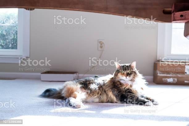 Cute maine coon calico cat face inside home lying down on carpet picture id1073399366?b=1&k=6&m=1073399366&s=612x612&h=7ptodzrpuxnmndhzbjpatpccujy26b0l rsd0nt0vwi=