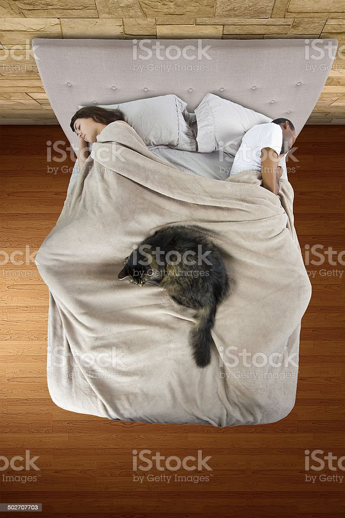 Cute Maine Coon Cat Sleeping in Bed With a Couple stock photo