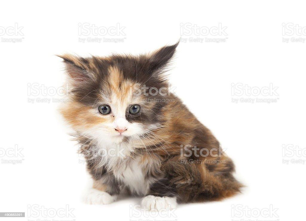Cute Maine Coon kitten stock photo