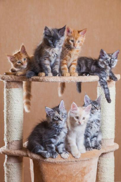Cute maine coon kittens of different colors picture id1251178951?b=1&k=6&m=1251178951&s=612x612&w=0&h=nisoetqpcbzmk iuyqj9kb r6e43lvgqlk7hb bfqie=