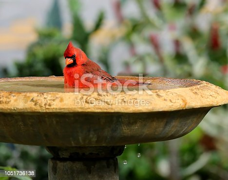 Young handsome male northern cardinal bathes in a backyard birdbath as water drips out the bottom of the birdbath.