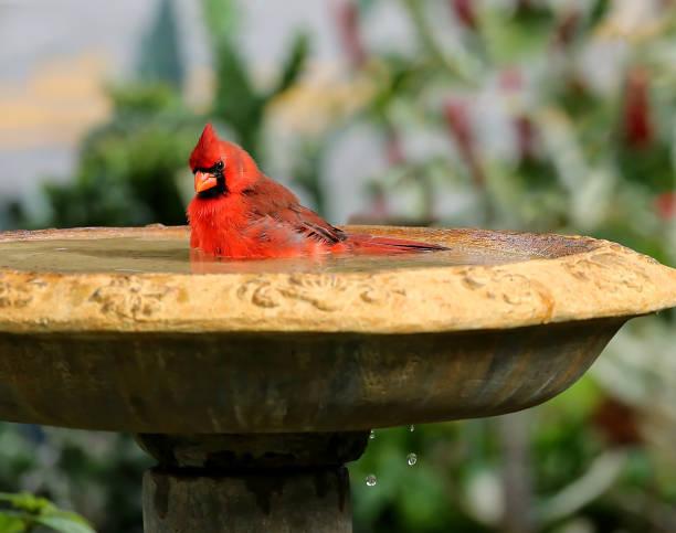 Cute male northern cardinal bird stock photo