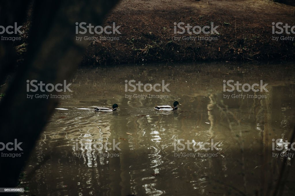 Cute mallards swimming in a lake in the forest, wild birds - ducks in a pond at british countryside - wildlife scene, nature concept zbiór zdjęć royalty-free